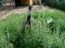 Australijos emu stručiai Salantai
