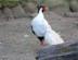 Sidabrinis fazanas Salantuose