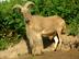 Karčiuotosios (berberų) avys Salantuose