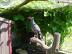 Mėlynasis ausytasis fazanas Salantai