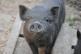 Nykštukinės kiaulės Salantai