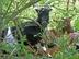 Nykštukinė Kamerūno ožka Salantuose