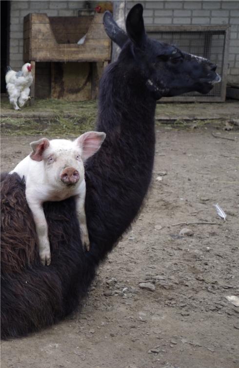 Kiaulė ir lama
