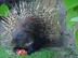 Baltauodegis dygliatriušis Salantuose