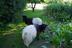 Boer ožkos